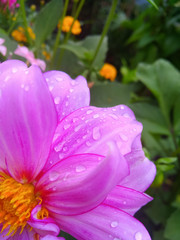 Garden Poster Pink Dew on pink flower
