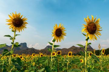 Lopburi Sunflowers