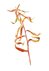 watercolor drawing autumn plant