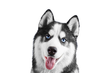 Portrait of a blue eyed beautiful smiling Siberian Husky dog with tongue sticking out isolated on white background