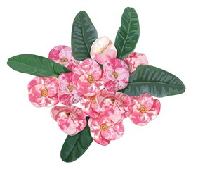 Euphorbia milii pink  flower -vector