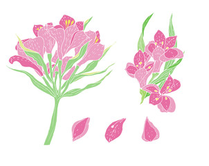 Isolated vector set pink alstroemeria flowers and petals on white background