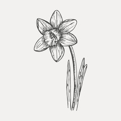 Daffodil - sketch isolated on white background. Hand drawn sketch in vintage engraving style. Botanical vector illustration.