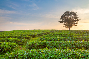 A beautiful sunrise at Chui Fong tea plantation, Chiang Rai, Thailand