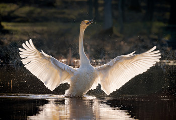 whooper swan spreading its wings