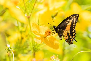 papillon sur fond jaune