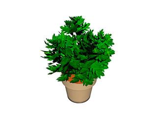immergrüne Zimmerpflanze