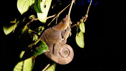 Night portrait of panther chameleon aka Furcifer pardalis in Andasibe-Mantadia National Park, Madagascar