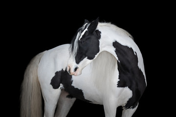 Beautiful gypsy horse look back on black background isolated