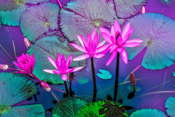 Canvas Prints Imagination laos, luang prabang : pink water lilies