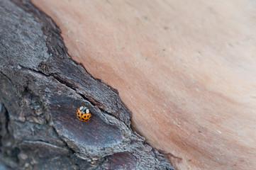 A close up shot of ladybug at wood. Beach 2, Kalaloch, WA