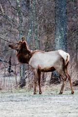 Bull elk – Photographed in Elk State Forest, Elk County, Benezette, Pennsylvania
