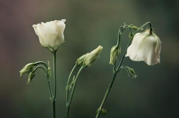 Canvas Afdrukken  - Kwitnące Eustomy na zielonym tle