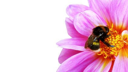 Bumblebee pollinating floret. Scenic, colorful picture of bumble bee on pink flower, close up. Blooming Dahlia, Dahlietta in the garden. Isolated on white background. Place for your text.