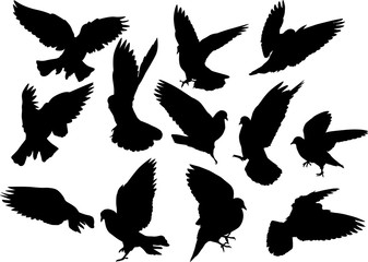 twelve isolated black pigeons