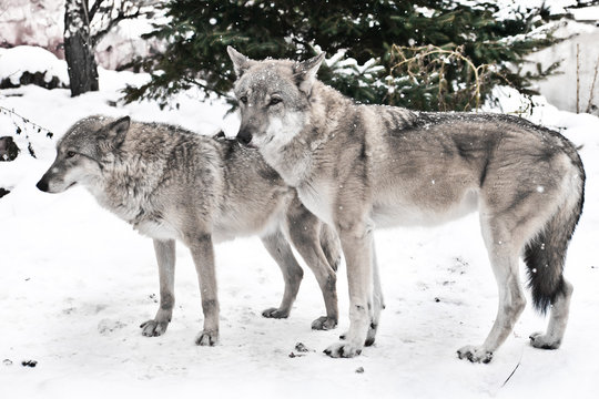 happy married couple of wolves together, a female wolf and a male wolf together stand together.