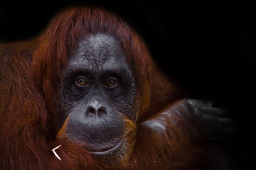The intelligent face of an orangutan philosopher with red hair