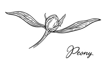 Peony flower bud hand drawn in lines. Black and white graphic doodle sketch floral vector illustration. Isolated on white background