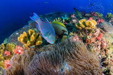 Wall Mural - Colorful Parrotfish feeding on a tropical coral reef