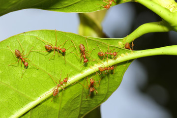 Group ant on green leaf