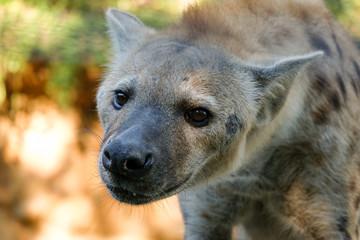 Poster Hyène Behavior of spotted hyena