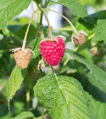 Raspberry bush plant. Branch of ripe raspberries