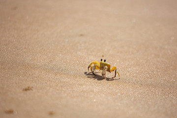 Funny cute crab crawling at the beach sand alone