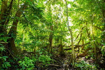 Natural pterocarpus forest swamp in Puerto Rico