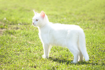 White young kitten standing on a green grass