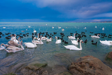 Animals, landscape sea, swans