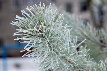 Sprig of frozen green beautiful pine, close-up