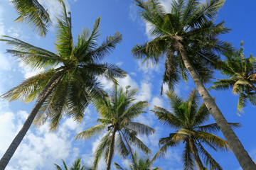 Bottom view of palm trees forest at blue sky background