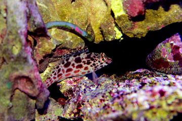 Pixy spotted Hawkfish in reef tank