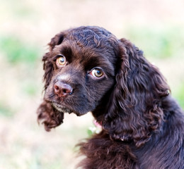 A closeup of a chocolate cocker spaniel puppy.