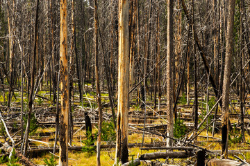 Burn Area in Yellowstone National Park, Wyoming