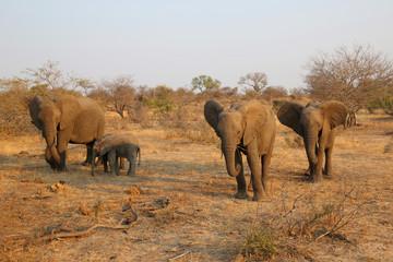 Herd of African bush elephants in Kruger National Park, South Africa