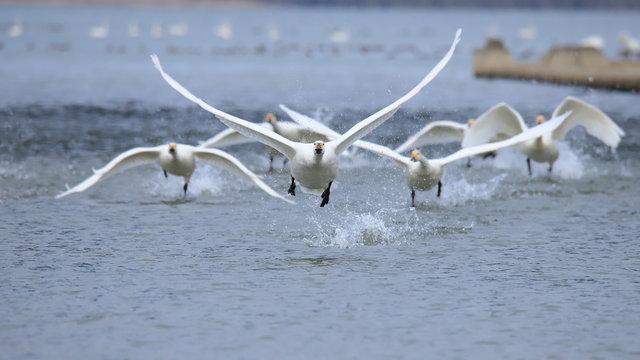 飛び立つハクチョウ(16:9) Swans take off
