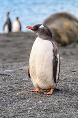 A Gentoo Penguin - Pygoscelis papua - Walking down the beach on Gold Harbour, South Georgia Island