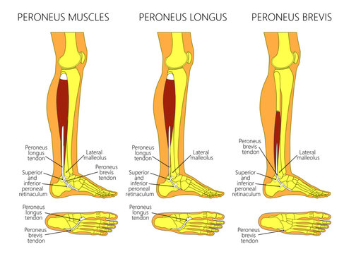 Vector illustration of peroneus longus and peroneus brevis muscle. Lateral view of human leg and ankle and bottom or plantar view of the foot