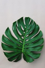 Single fresh green monstera leaf texture, copy space