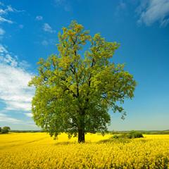 Fototapete - Kulturlandschaft im Frühling, blühendes Rapsfeld, solitäre Eiche, blauer Himmel