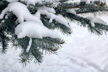 Snow on the branch of blue spruce