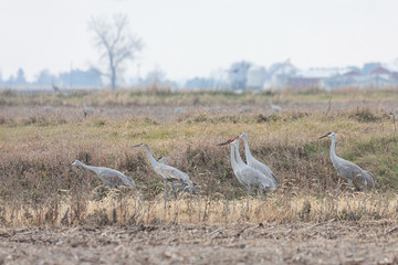 Sandhill Cranes Gather in a Field