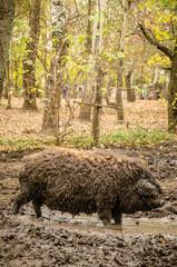 Hungarian 'Mangalica' Pig on farm in Hungary.