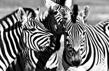 Aluminium Prints Close up of a playful group of Zebras