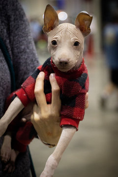 Young American Hairless Terrier, Dog / Puppy in a Plaid Shirt