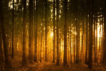 Aluminium Prints Crimson forest in the evening sun