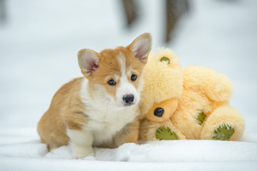 two small dogs in the winter forest, welsh corgi pembroke