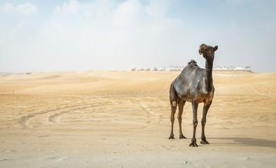 black camel at the Million Street