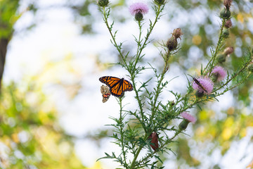 monarch and painted lady butterflies on pink thistle flowers